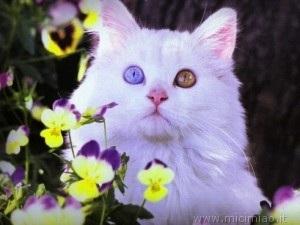 Micio con occhi di colore diverso mici miao il gatto for Gatti con occhi diversi